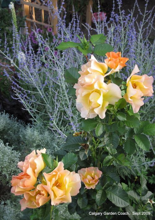 Morden Sunrise rose with Russian Sage - have this in my front yard :D