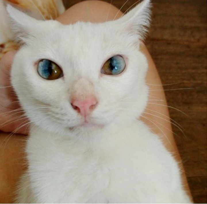 Best A Genetics Heterochromia Images On Pinterest - This is pam pam the kitten with heterochromia with hypnotic eyes you just cant stop looking at