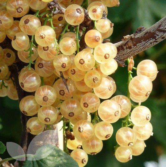 Whitecurrant White Versailles Whitecurrant Bushes For Sale Blackmoor Nurseries