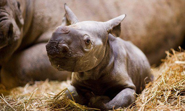 Kent wildlife park celebrates arrival of black rhino calf