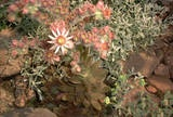 Picture of hen-and-chickens flowers.  Drought tolerant and fire resistant.  Used to be planted in roofs.