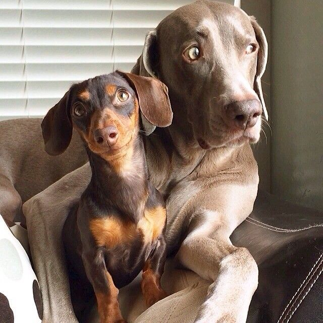 In The Beginning It Was Harlow And Sage The Best Dog Friends In The Whole World Sage Was A Miniature Dachshund And Ha Animal Lover Dachshund Cute Animals