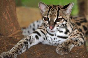 Animais em Extinção no Brasil - GATO-MARACAJÁ Esse gato das florestas sofreu durante décadas com a caça para a venda de sua pele. Atualmente, o desmatamento é o maior problema enfrentado pela espécies uma vez que causou a destruição de seu habitat natural. (Espécie vulnerável)