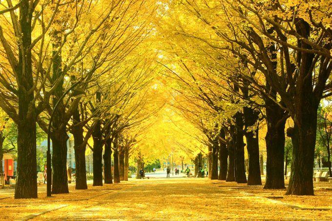 秋限定の黄色のトンネル!東京都内にある「イチョウ並木名所」8選 | RETRIP