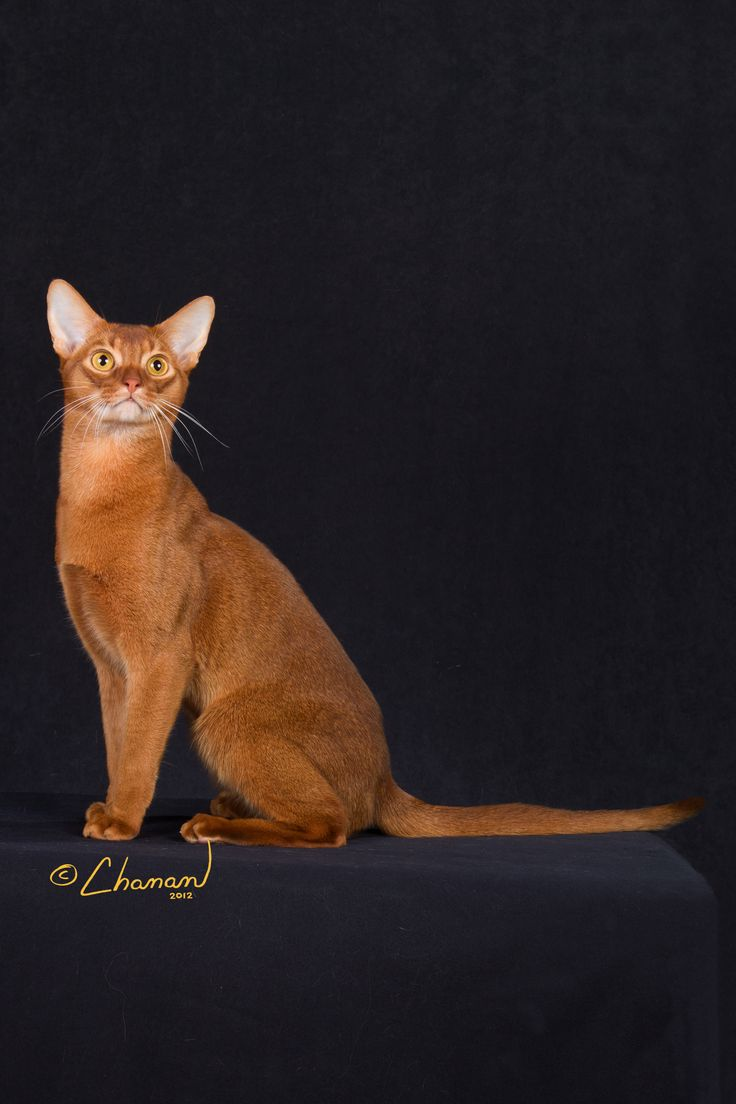 31 best Abyssinian cats images on Pinterest | Abyssinian cat, Cute ...