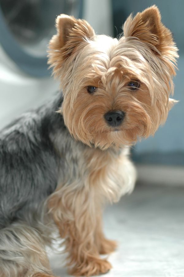 Yorkies = hypoallergenic ★ Fuzzy Friends ★ Pinterest