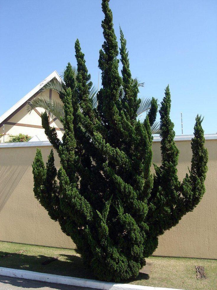 Juniperus chinensis 'Torulosa' aka Hollywood Juniper