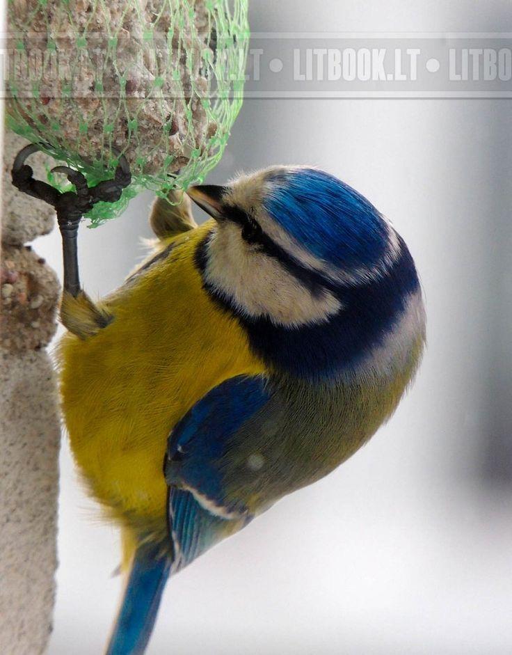 Как подкармливать синиц зимой и для чего это нужно. Для тех, кто любит природу, кормление птиц – это отдых и изысканное удовольствие. Как приятно смотреть на щебечущих весёлых пичуг, которым вы помогли пережить сегодняшний день. А если вы приучите к этому своего ребёнка, это лучше всяких учебников поможет ему вырасти добрым и сильным человеком.