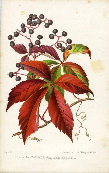 A faj kettős latin neve: Parthenocissus quinquefolia Magyar név: repkényszőlő, tapadó vadszőlő Család: Vitaceae Rend: Vitales Életforma: N-E Termés: bogyó
