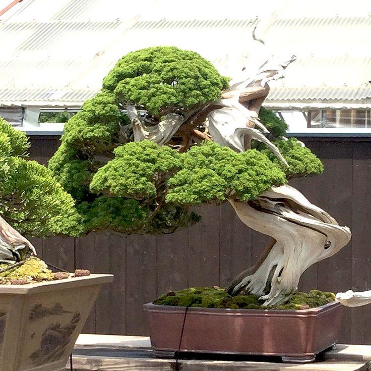 exklusive b ume bonsais online kaufen luxurytrees trees bonsai bonsai gartenbonsai und. Black Bedroom Furniture Sets. Home Design Ideas