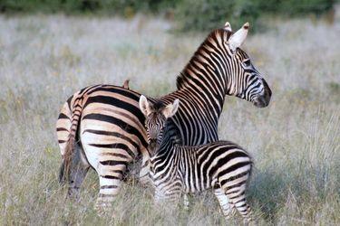 Baby Zebra, Kruger, South Africa