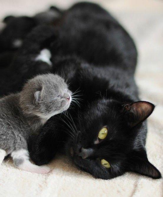 {Fur & Feather} Newborn grey kitten with sleek black mama cat #cats #kitten #furandfeather