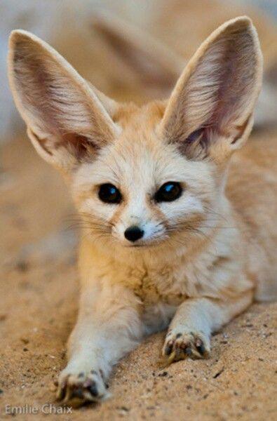 Cute Desert fox    Tun...