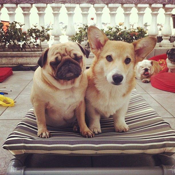 Me and sista. Corgi / Pug