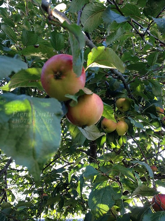 Time for the apples