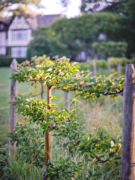 espaliered apple tree - started 3 apples around our garden fence last spring, and it's time to prune them.