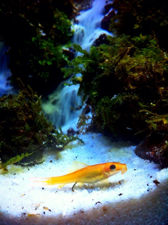 Ikan itu namanya Ikan CAE (Chinese Alga Eater) atau kerap dimaksud juga Lemon Alga Eater yaitu sejenis ikan Herbivora, ikan ini spesial pemakan lumut ukuran di alam liar dapat mencapai 28 cm