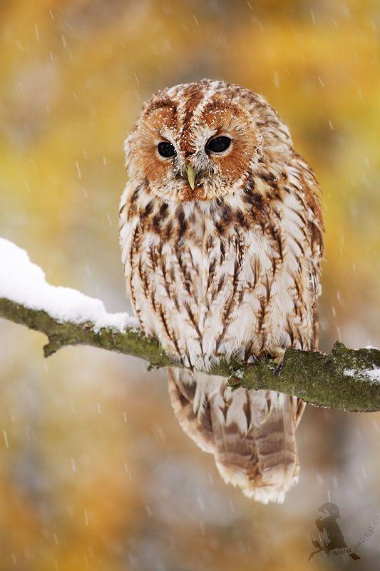 Tawny owl by Jiří Míchal