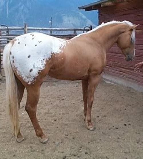 I love palomino appaloosas .... so beautiful!!!!!! I shall own one someday, and only ride it bareback in the meadows and on the trails and the mountains and through water :D He shall be my cowboy horse =)