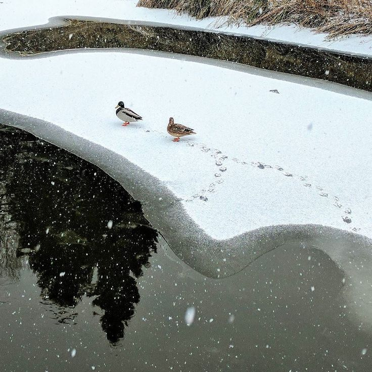 #duck om #ice in the #snow