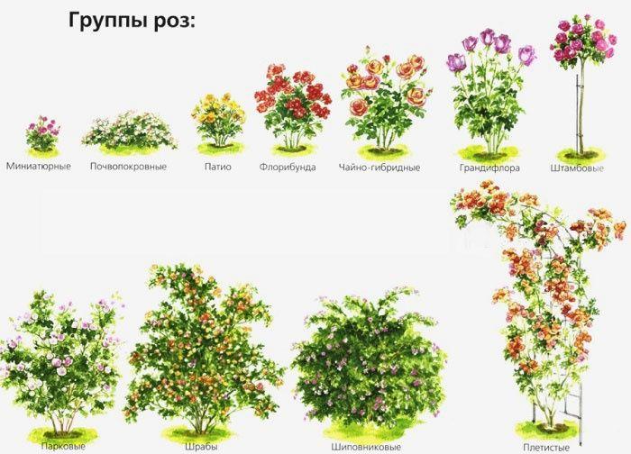 Классификация роз по группам