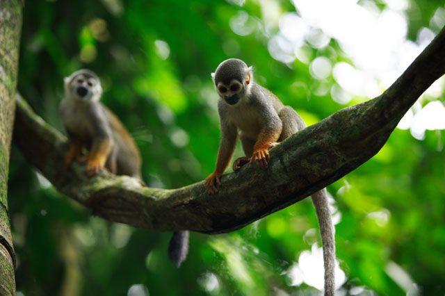 Isla de los Micos - Parque Natural Amacayacu. Amazonas Colombiano