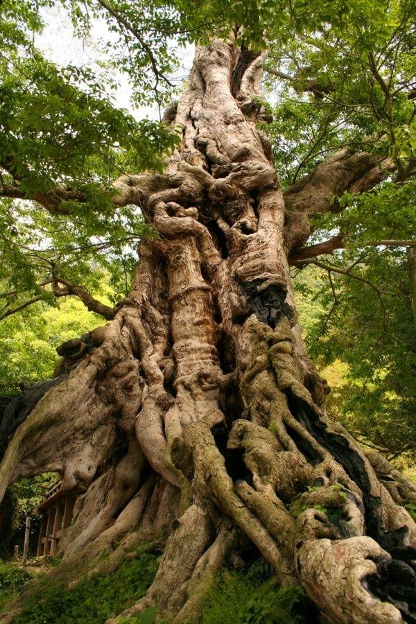 Inochinushiyashiro no Mukunoki (Muku Tree). Sacred Tree near Izumo Taisha. Izumo, Shimane Prefecture, Japan. by armonia