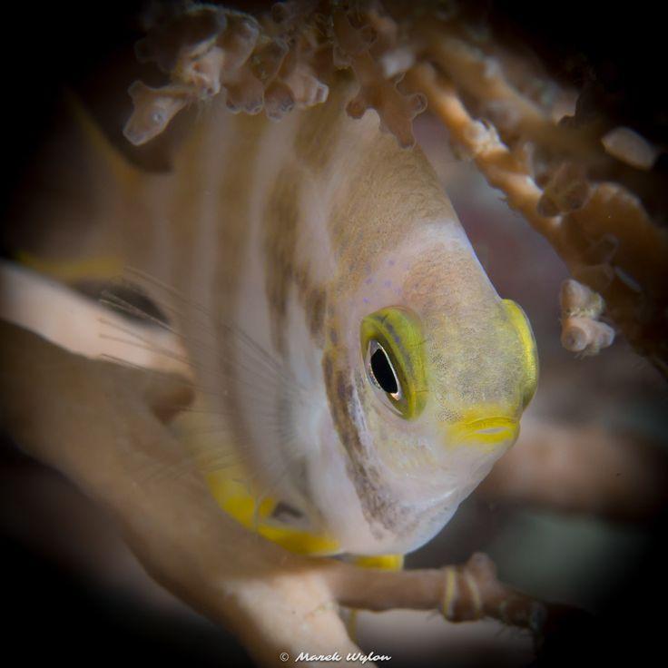 Coral Bream   Palau   2015.04.28  Title: Coral Bream Location: Palau Camera: NIKON D800E Lens: AF-S Micro Nikkor 60mm f/2.8G ED Settings: 1/100 f/11 ISO320 Housing: Subal ND800 Strobes: 2 x INON Z240  http://marek.wylon.com