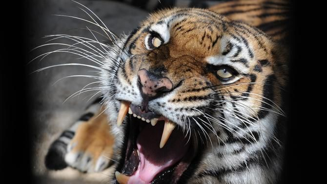 The wild tiger population has declined to just 3,200 save endangered tigers