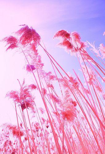 Fluffy Color Pink Beach Grass: Pink Pink Pink, Pink Flower, Favorit Color, Pink Color, Pink Trees, Pink Beaches, Fluffy Color, Color Pink, Beaches Grass