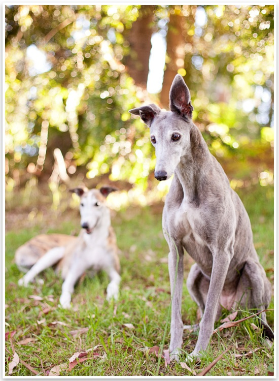 Rescue Greyhound photo session by Charlotte Reeves Photography.