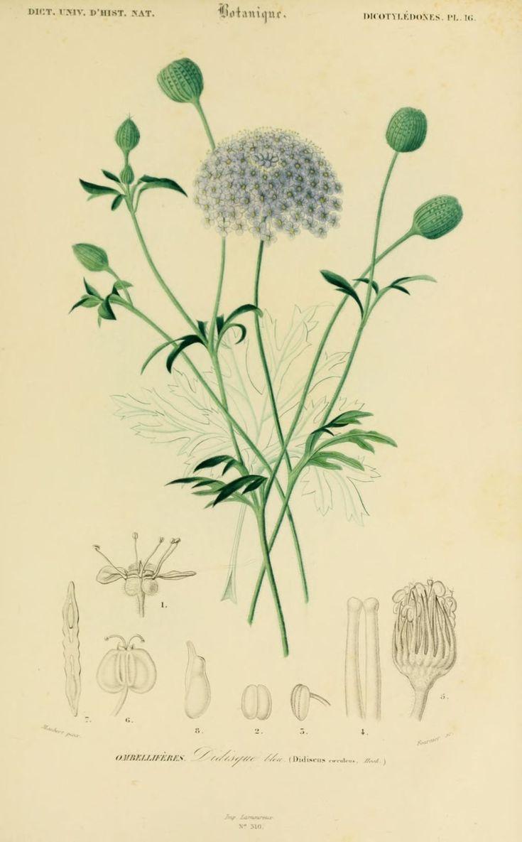 img/dessins couleur fleurs/dessin botanique de fleur 0173 didisque bleu , didiscus coeruleus