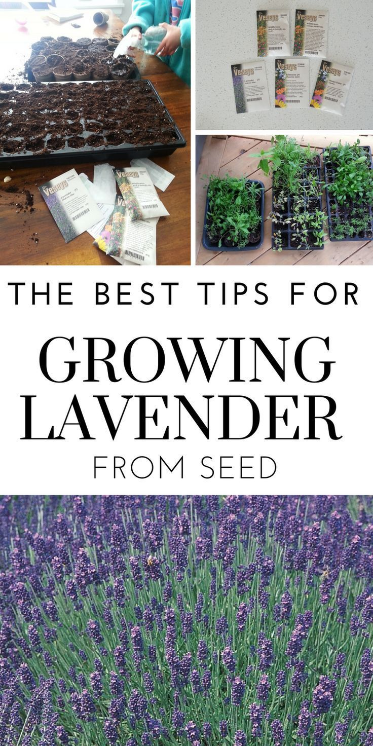 Tips To Successfully Grow Lavender From Seed The Vanderveen House Growing Lavender From Seed Growing Lavender Lavender Seeds