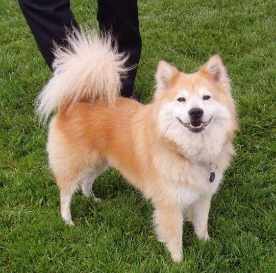 Chowba (Chow-Chow + Shiba Inu) | 19 ungewöhnliche Hunde-Kreuzungen, die Dein Herz im Sturm erobern werden