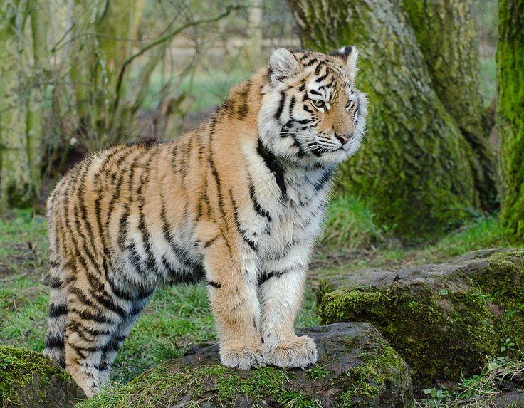 Amur Tiger   by nicknack68