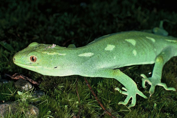 Since 2006 a number of Wellington green geckos have been moved to Matiu/Somes Island. This predator-free island in Wellington's harbour is a key site in the Department of Conservation's translocation programme.