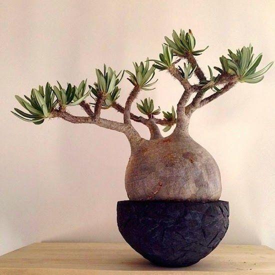 Introducing New Worlds With A Shrug: Good Stuff: Pachypodium/Pachypodium rosulatum var. gracilius
