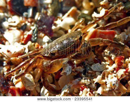 Rock crab on pebbles