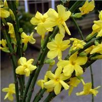 Winter Jasmine Plants, Climbing winter jasmine for sale online, UK grown Groves Garden Centre, Bridport £8.50