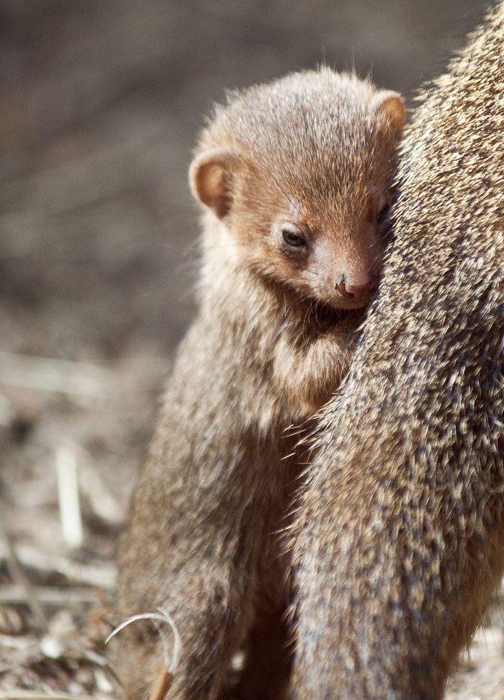 Dwarf mongoose cub, Korkeasaari Zoo, Finland