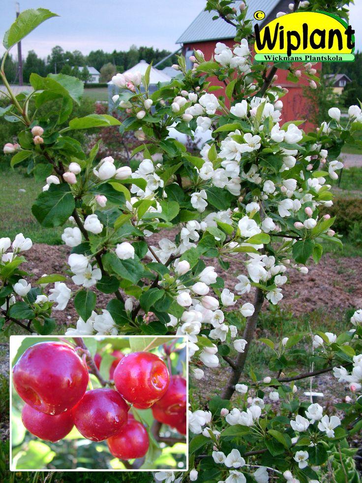 Malus 'Ranetka Purpurovaja', Prydnadsäppel. FinE-sort. Vita blommor, glansiga blad. Rikligt med röda frukter. Härdig. Höjd: 2 - m.