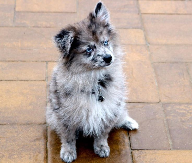 Blue Merle Pomsky With Blue Eyes Meet Bowdy The New