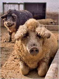 Fuzzy pig article via NY Times. Click on the pic for the link to the article, but here is one from wiki with info on the breed http://en.wikipedia.org/wiki/Mangalitsa