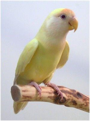 Yellow lovebird ✿⊱╮