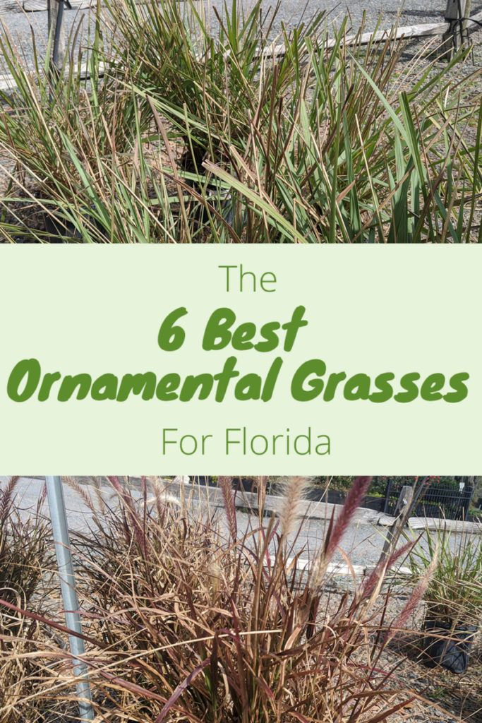 The Best Ornamental Grasses To Grow In Florida In 2020 Ornamental Grasses Florida Gardening Grass