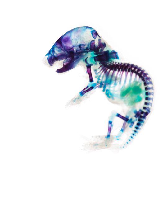 ハツカネズミ(Hathukanezumi)  分類:哺乳類 ネズミ目 ネズミ科  学名:Mus musculus  作品サイズ:36mm