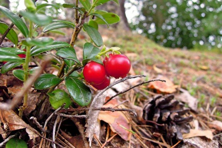 La pianta di mirtillo rosso (Vaccinium vitis-idaea) è estremamente decorativa. Da tempo infatti si sta diffondendo anche da noi, non solo per le sue bacche estremamente apprezzate in cucina e in erboristeria, ma anche come elemento distintivonei giardini o sui balconi. Per lacorretta coltivazione sono però necessarie condizioni ben precise ...