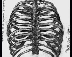 Image result for human rib cage