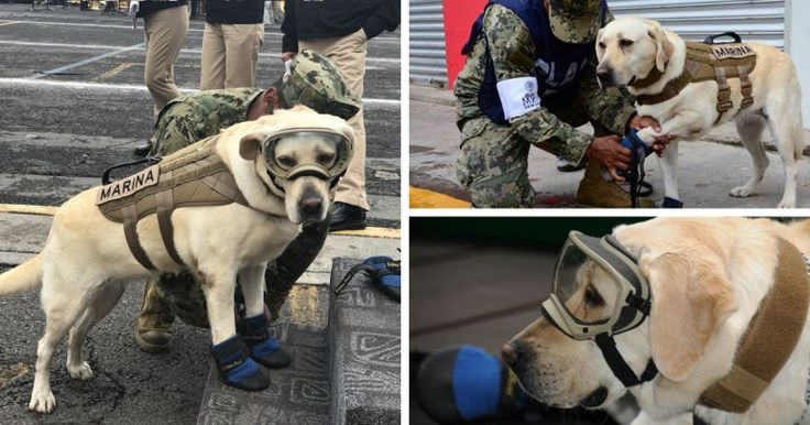 Badass Rescue Dog Who Has Rescued 52 Lives Is Now Saving People Affected By Mexico Earthquake – Memed