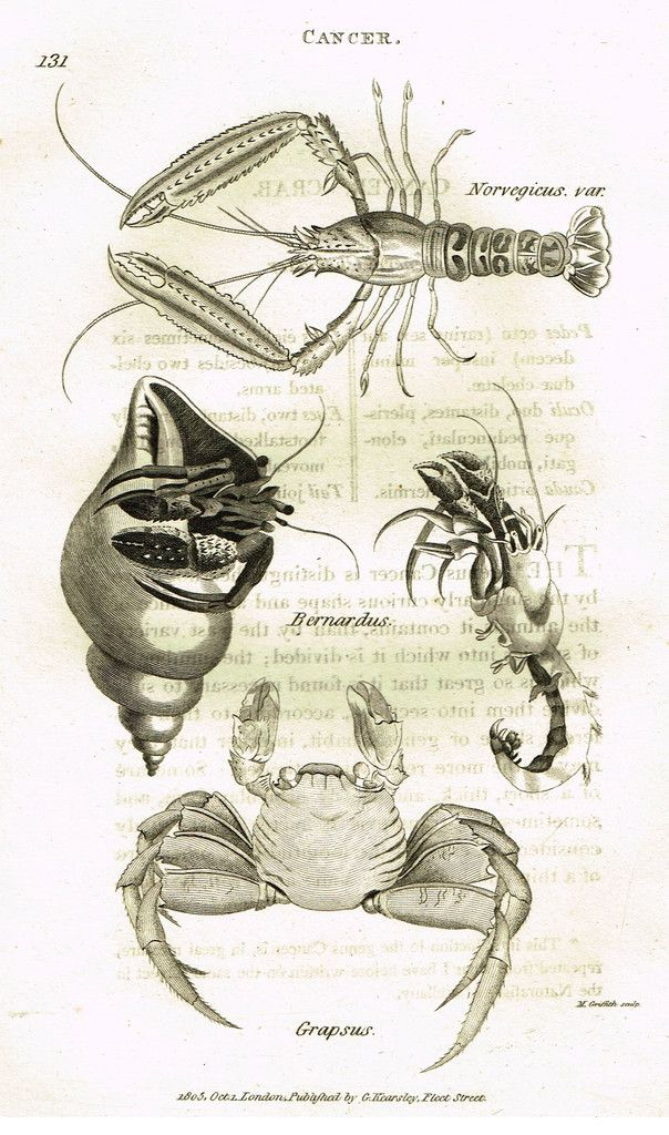 "Shaw's General Zoology - (Seashells) - ""CANCER - CRABS"" - Copper Engraving - 1805"